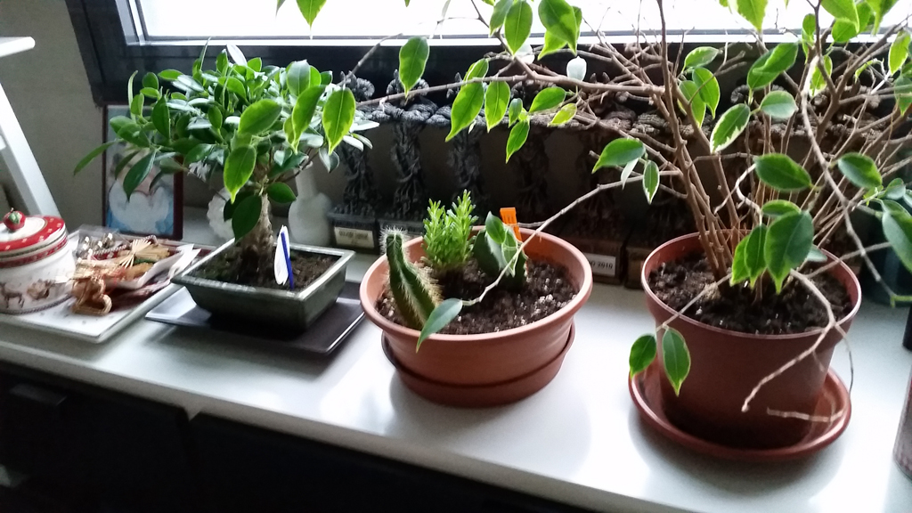 Mi primera vez: Ficus Retusa (muchas preguntas) 1555u9e