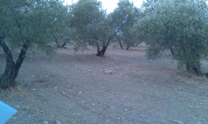 Olivar a finales de verano en Sierra Morena y el alto Guadalquivir - Página 3 15odr0h