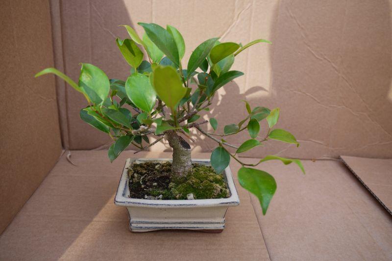 Primeros pasos de un Ficus tamaño shohin 1e6o7n