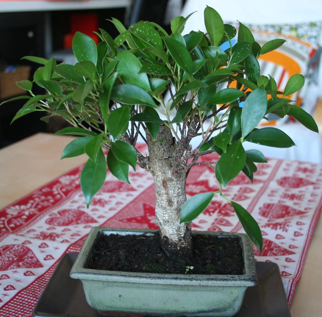 Mi primera vez: Ficus Retusa (muchas preguntas) 281cxt5
