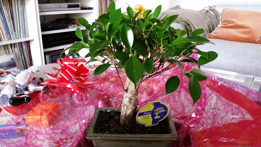Mi primera vez: Ficus Retusa (muchas preguntas) 2elzjbs