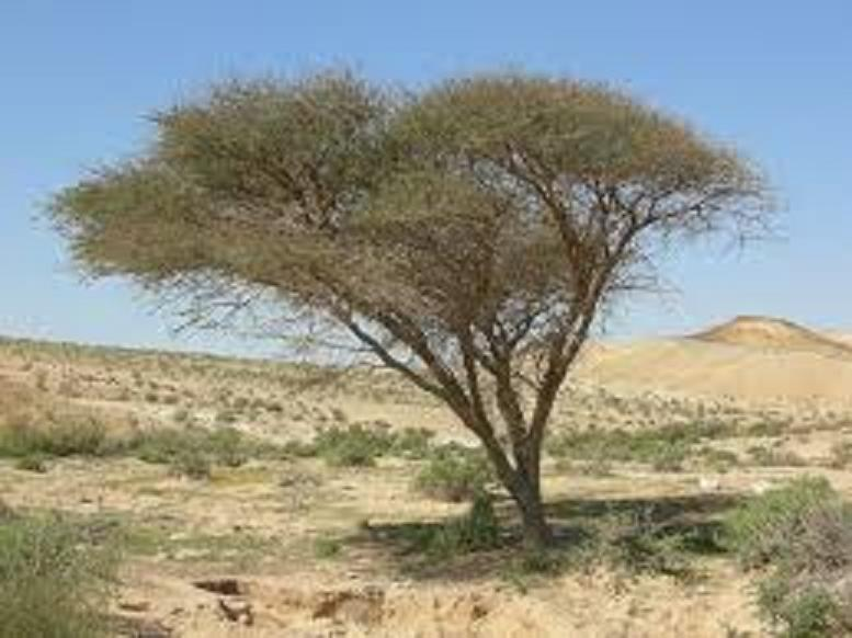 كل ما يتعلق بشجرة السنط ( الصمغ العربى – القرض )   2exvhxi