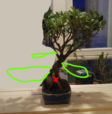 Mi nuevo Ficus Tiger Bark. Opiniones. 2h3de6b