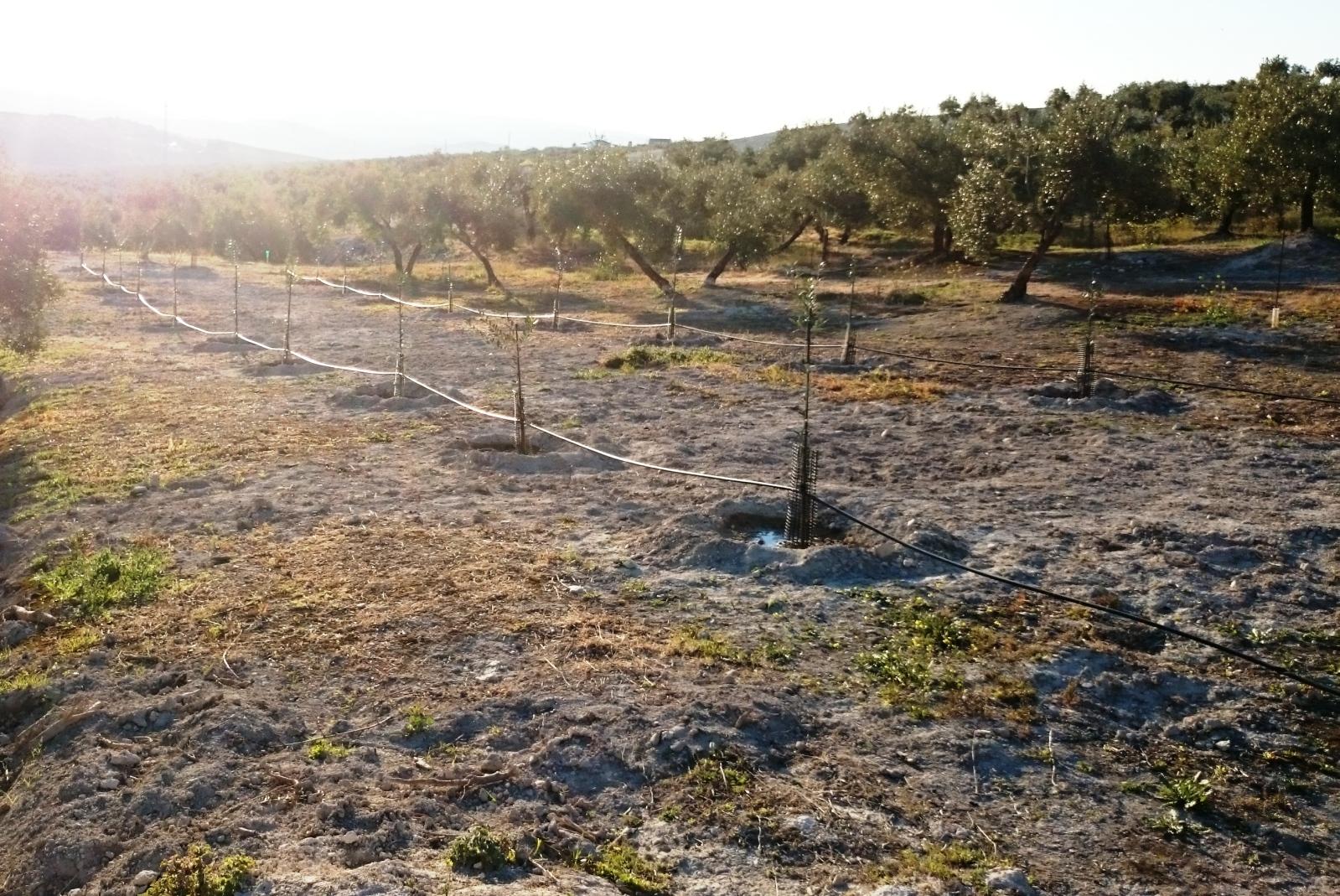 Crecimiento de plantones olivo - Página 9 2im80fd