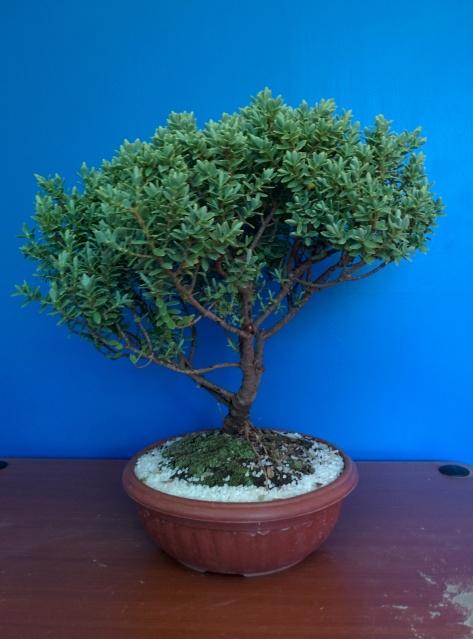 hola, necesito identificar este bonsai y saber sobre sus cuidados. 2n8vvba