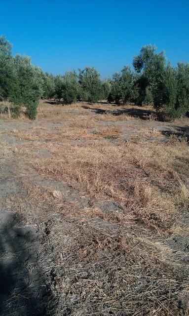 Olivar a finales de verano en Sierra Morena y el alto Guadalquivir 2u93634