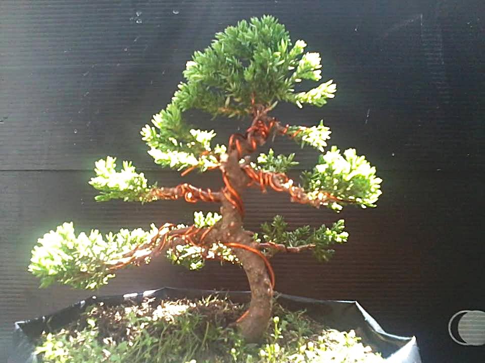 junipero mame 2vvstug
