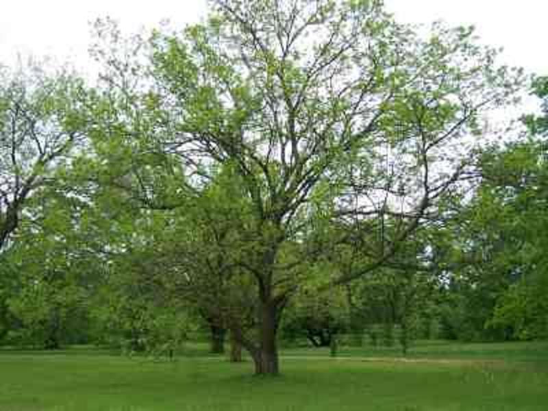 أشجار التوت وفوائده.  5lz6o8