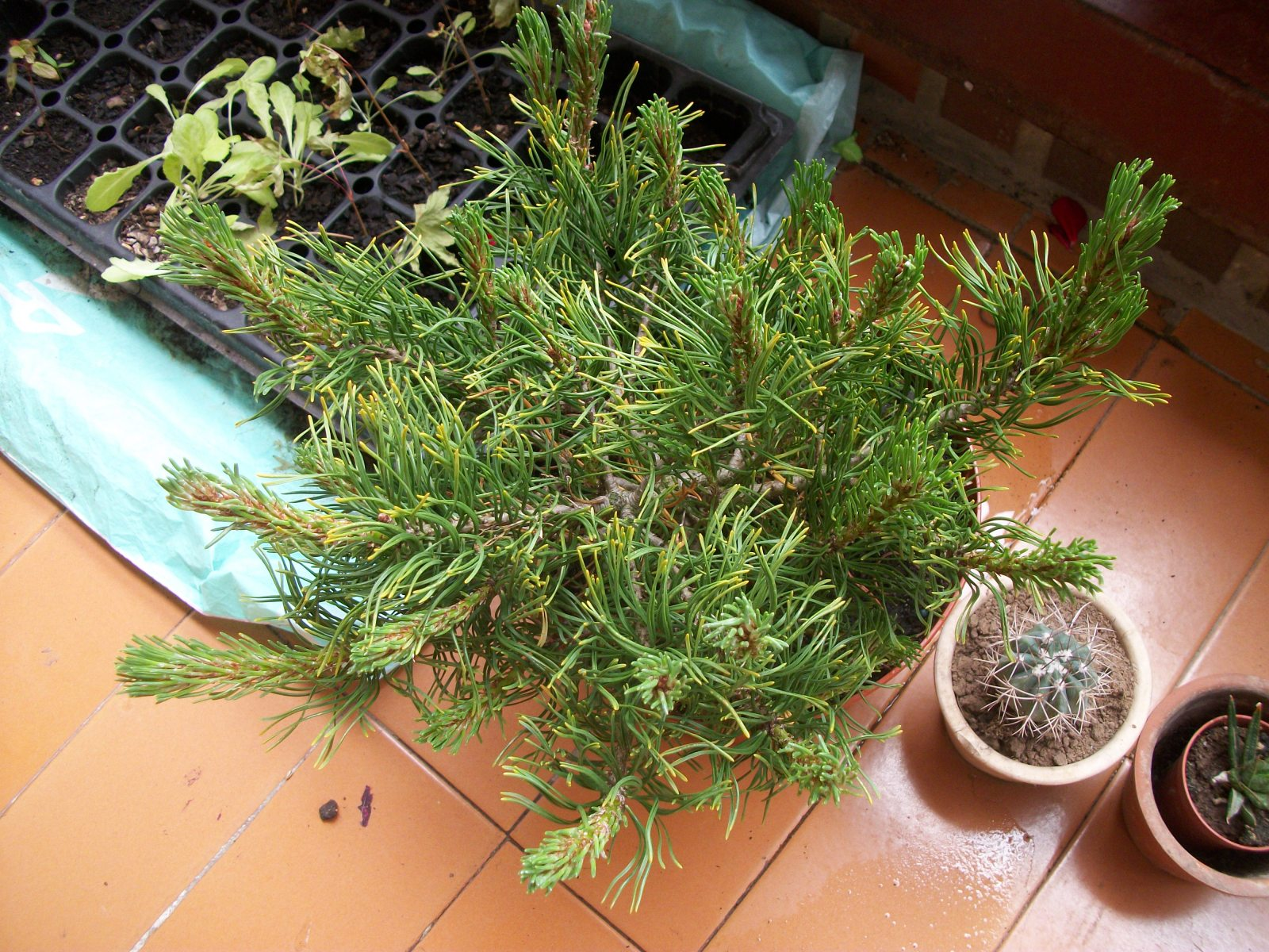 Trasplante pinus mugo 8vus6v