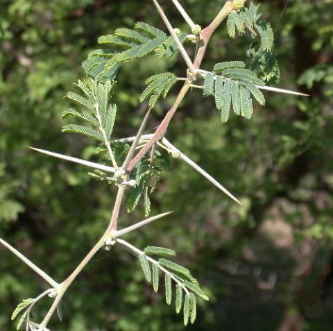 كل ما يتعلق بشجرة السنط ( الصمغ العربى – القرض )   99mc9c