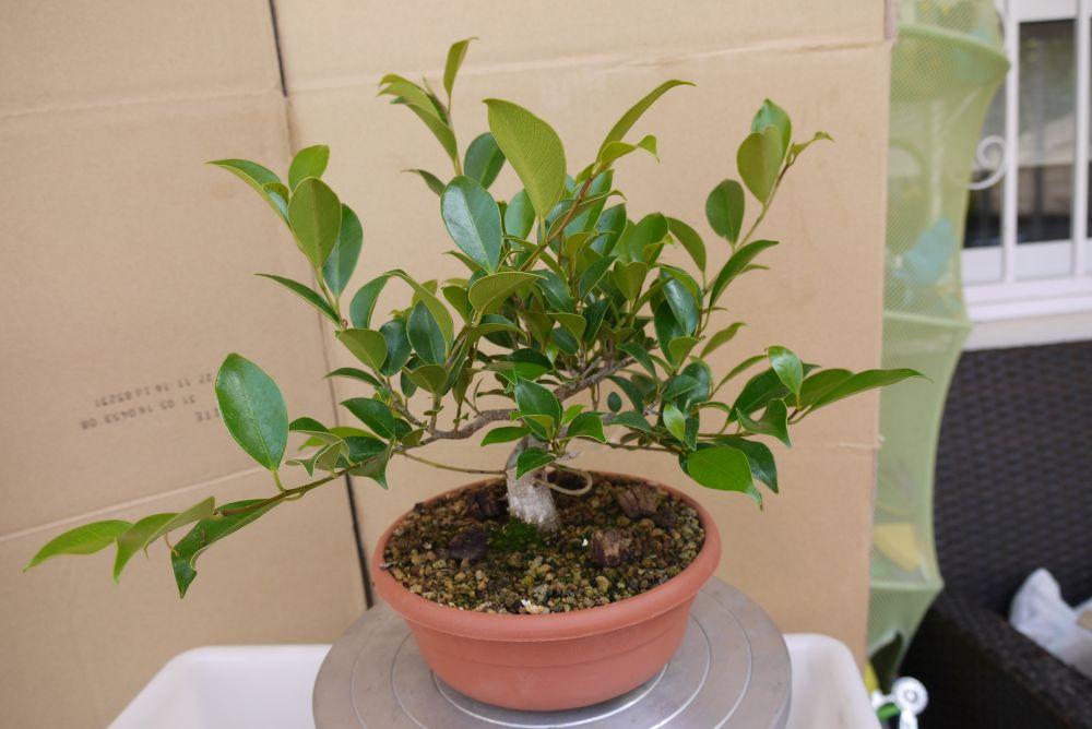 Primeros pasos de un Ficus tamaño shohin E68849