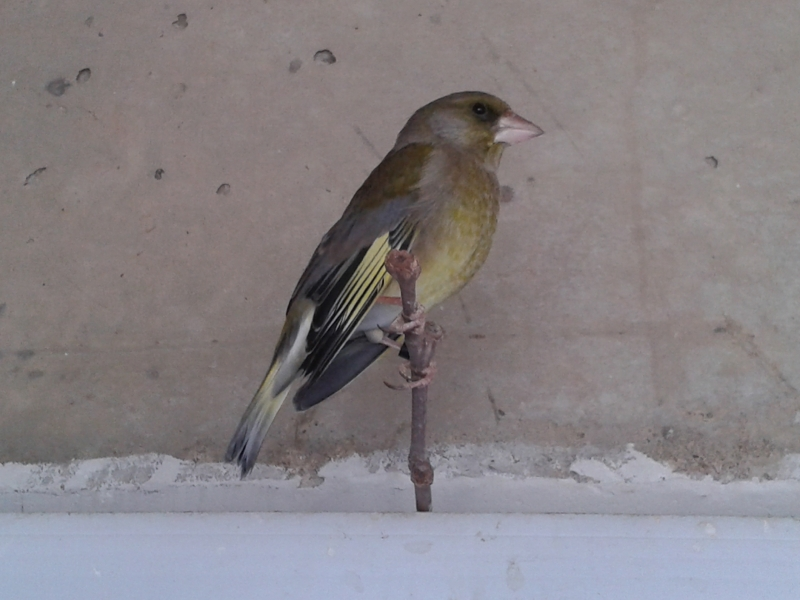 CARDUELIS CHLORIS - SLIKE - VIDEO - Page 3 Fa8nxk