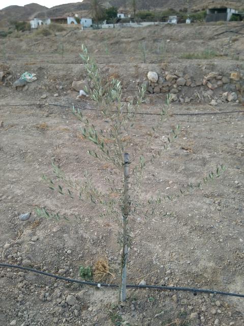 Crecimiento de plantones olivo - Página 9 Igyhsm