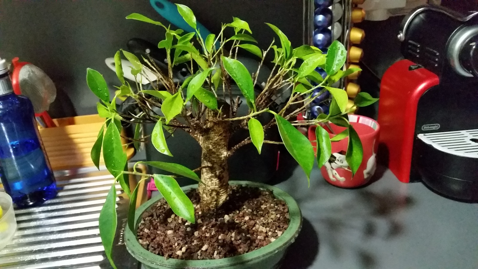 Mi primera vez: Ficus Retusa (muchas preguntas) K1ba0l