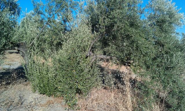 Olivar a finales de verano en Sierra Morena y el alto Guadalquivir Kcbjp5