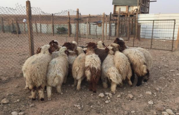 غنم للبيع الرخال و خرفان هرفى نعيم 2016 Muxrms