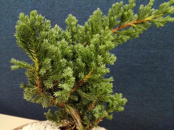 Bonsai Pino Nana o Juniperus Procumben Rkblg7