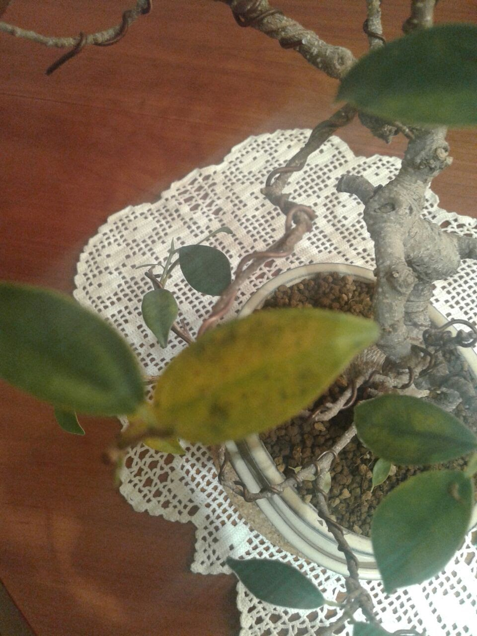 Bichitos en sustrato y otros problemas en Ficus 142vgo4