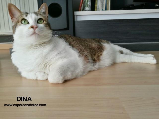 Dina, preciosa gata busca su hogar (Álava, fecha de nacimiento aproximada 10/04/2014 ) 14mrtok