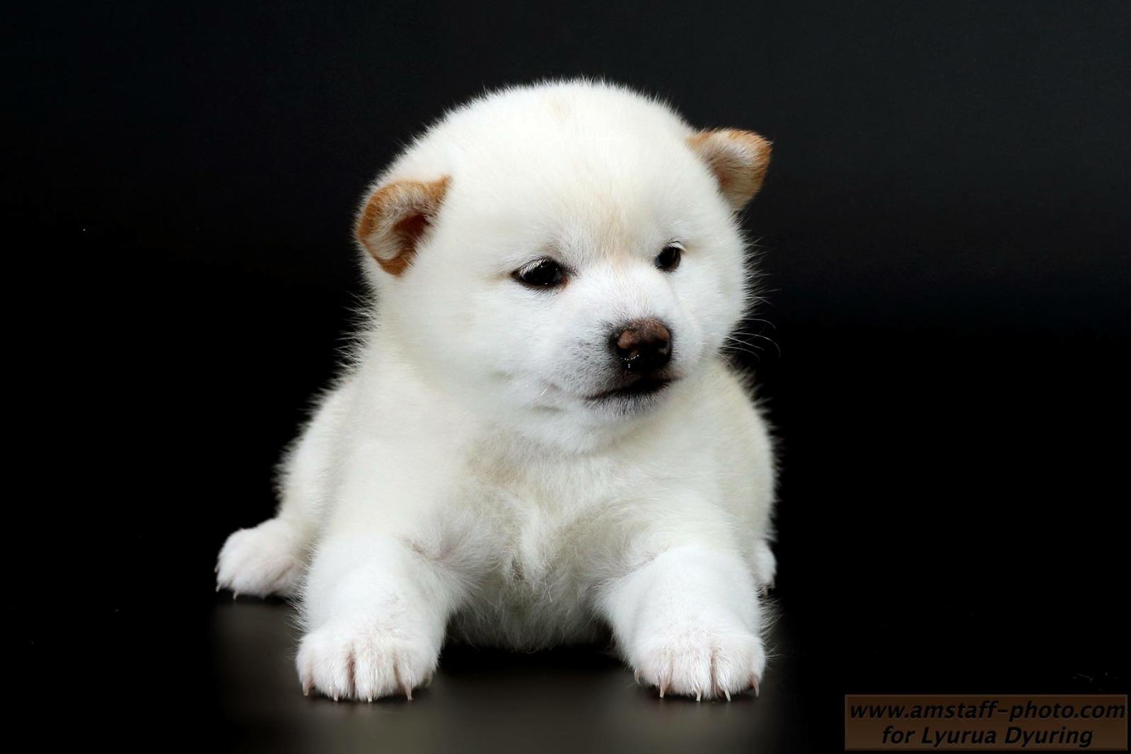 Куплю щенка сиба ину белого окраса 14xp1mg