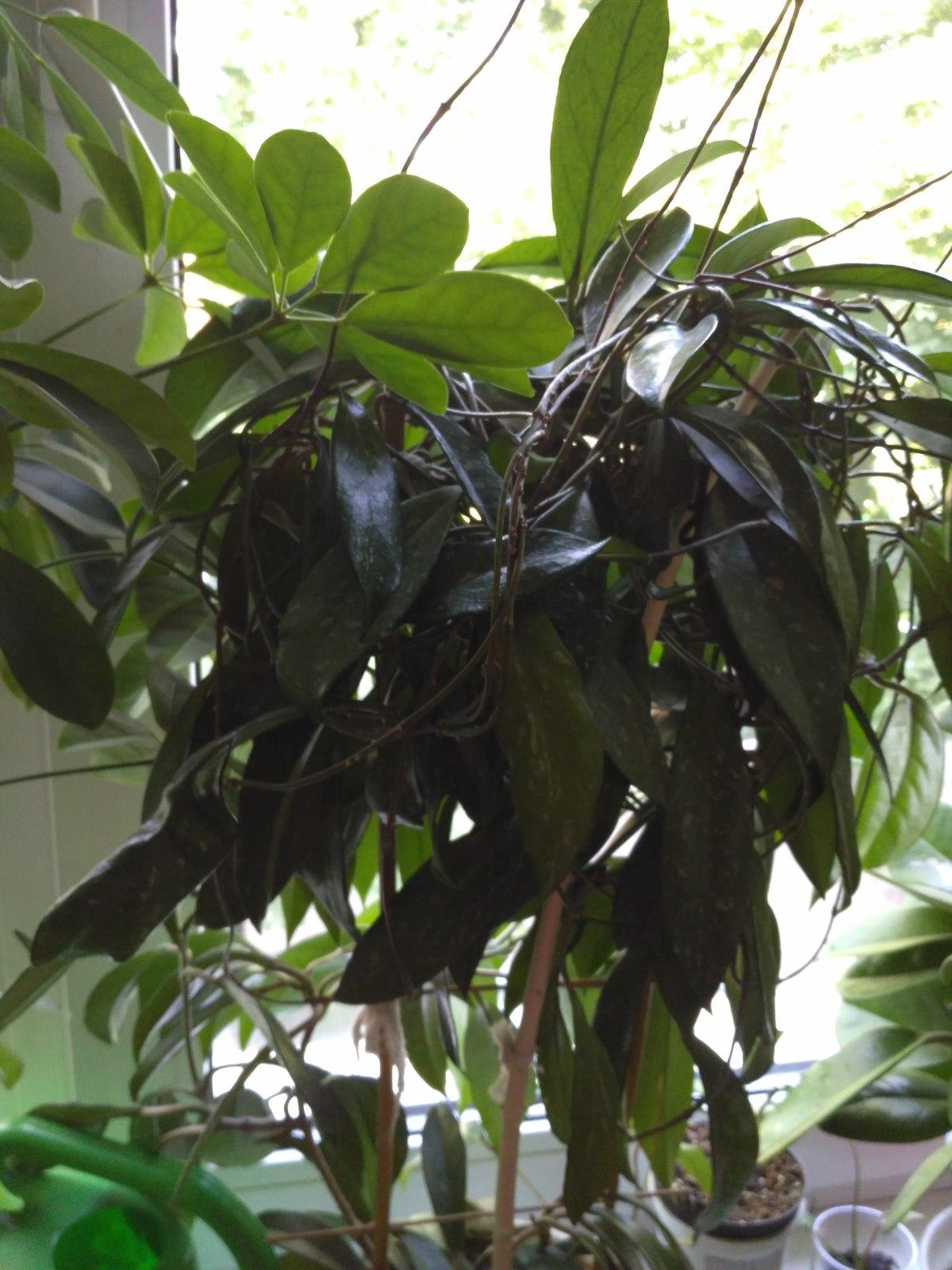 Hoya pubicalyx 15zfpdk