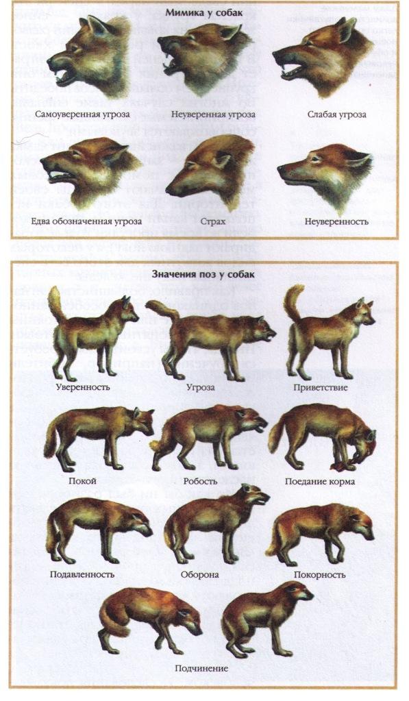 Советы начинающему собаководу (в картинках) - Страница 2 1ilv14