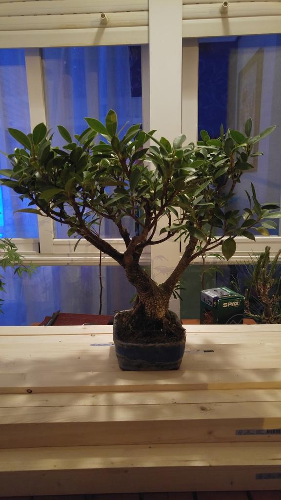 Mi nuevo Ficus Tiger Bark. Opiniones. 20zwhgn