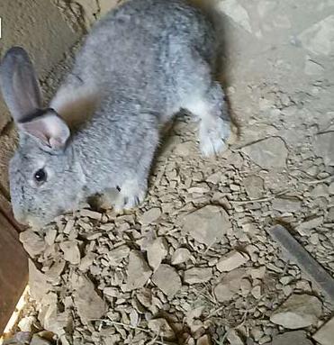 للبيع ارنب شنشلا  ايطالي  289bwaf