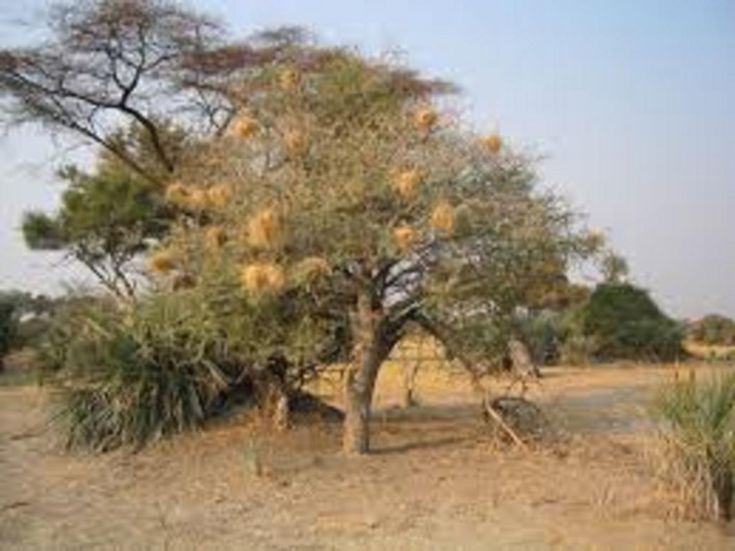 كل ما يتعلق بشجرة السنط ( الصمغ العربى – القرض )   28cd5a8