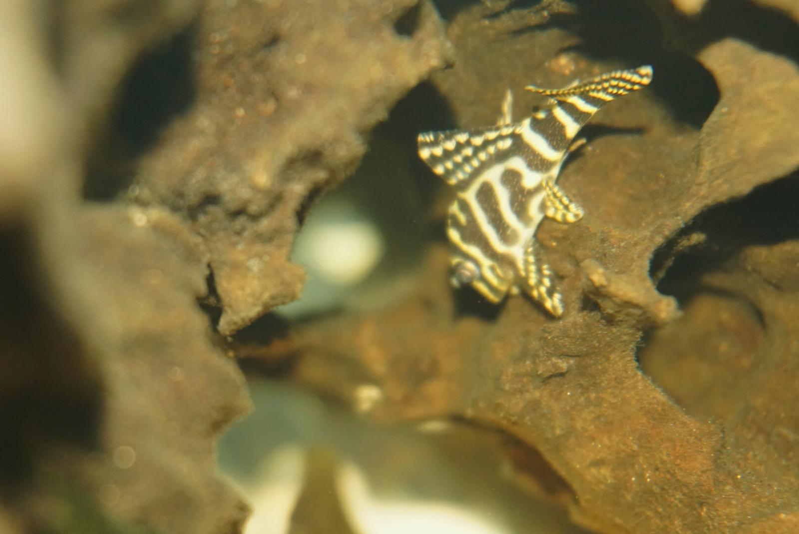 Hypancistrus sp. (L333)    2n6bw3a