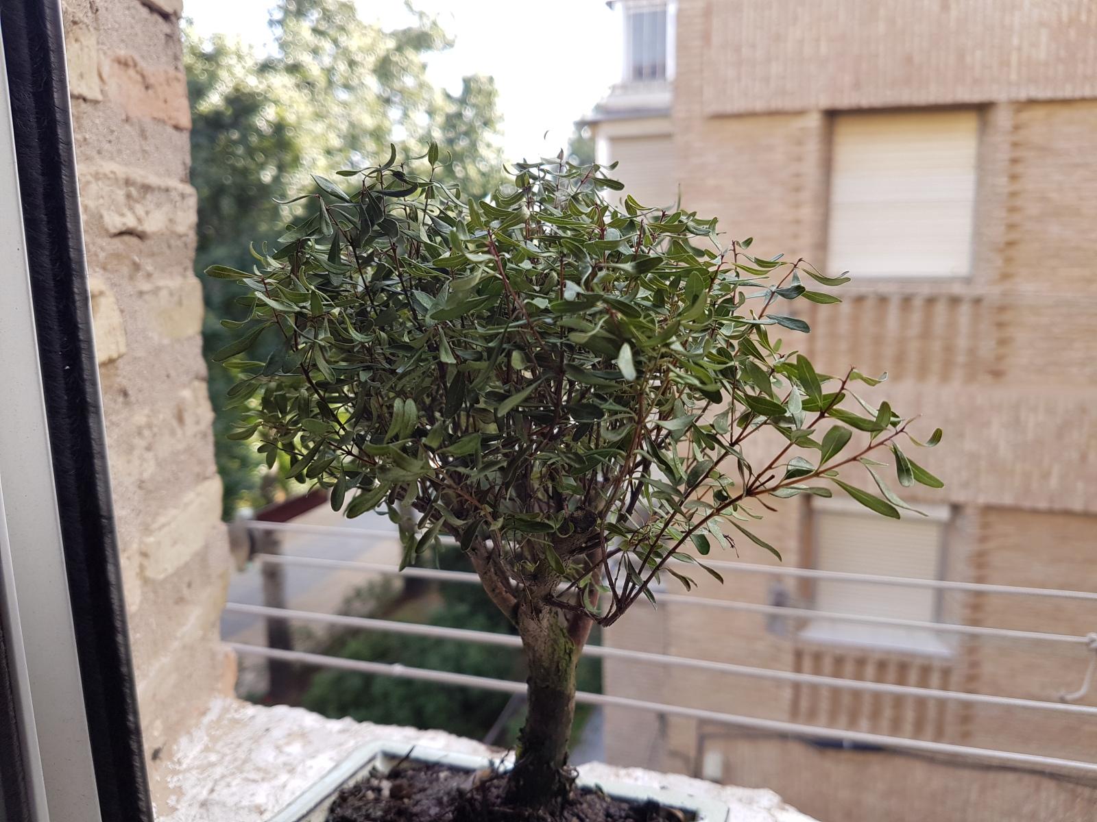 syzigium buxifolium Hojas rizadas 2qn2wsx
