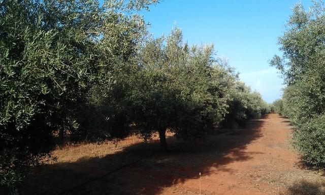 Olivar a finales de verano en Sierra Morena y el alto Guadalquivir 2r70k6v