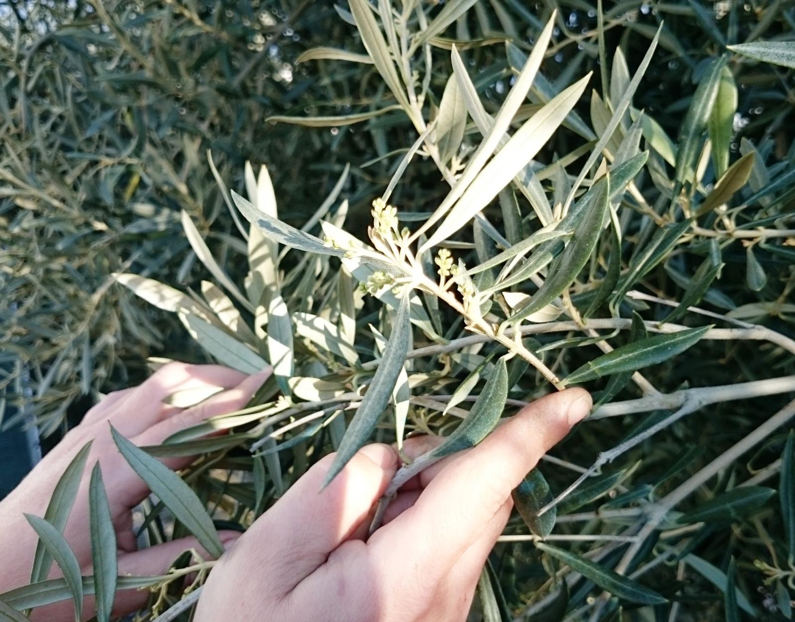 cosecha 2016-17 2rh2rlx