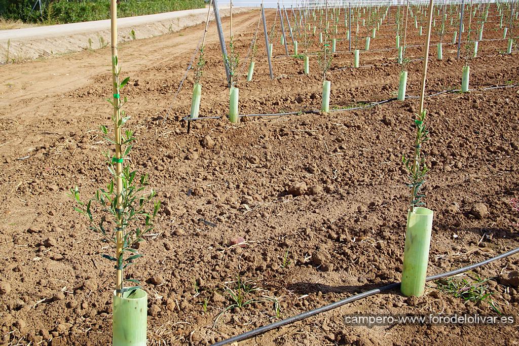 Plantación de olivar superintensivo en emparrado (Badajoz) 2u3v49v