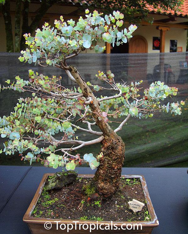 Cómo cultivar Eucalipto Cinerea [Pseudo Tutorial] 2u9svo0