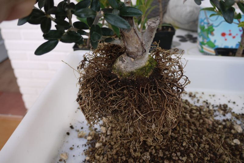 Mi primer olivo yamadori (ACTUALIZADO A VI/2018) - Página 2 2v9w0mq