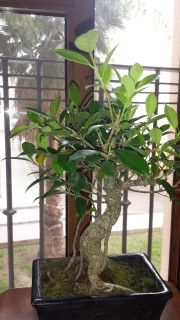 Ficus con hojas amarillas y manchas negras 33adieq