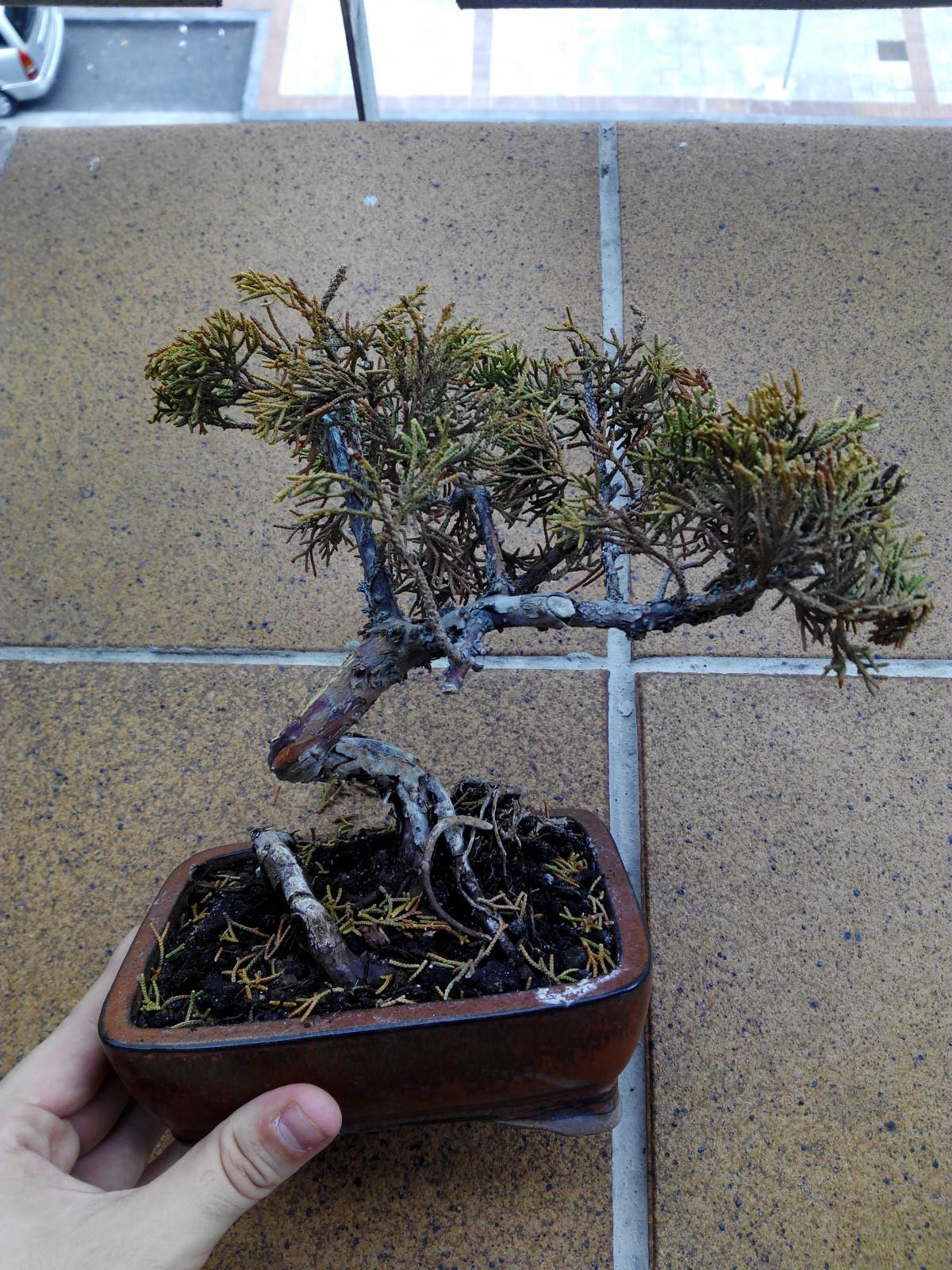 Juniperus 35002sy