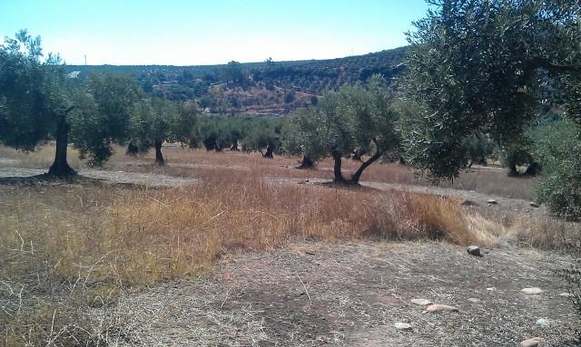 Olivar a finales de verano en Sierra Morena y el alto Guadalquivir 5nont2