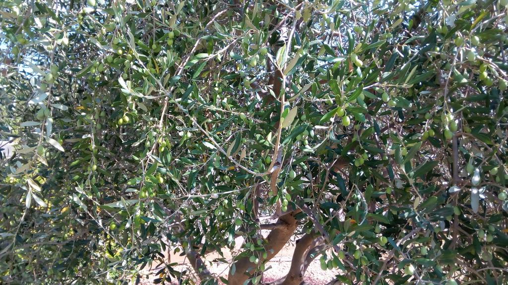 ¿Alguien me puede ayudar a identificar qué tipo de olivos tengo? I6jmol