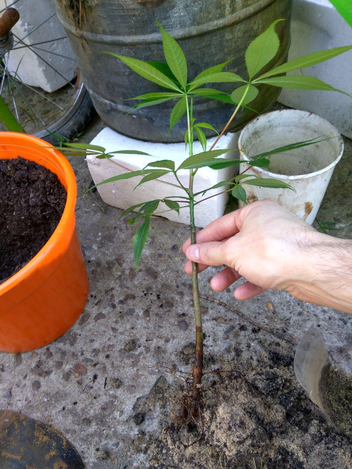 Palo Borracho de semilla Msgf9y