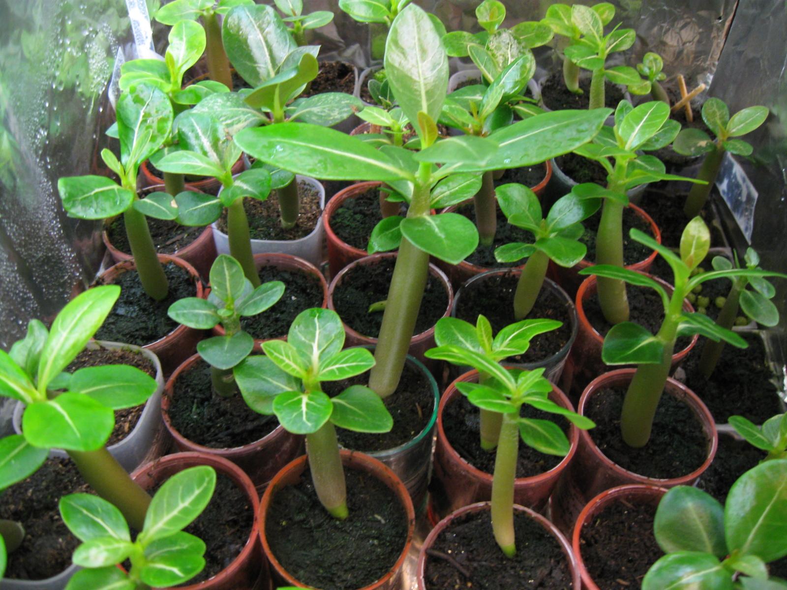 Prodajem sadnice Adenium arabicuma Ndwqhl