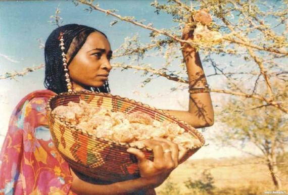 كل ما يتعلق بشجرة السنط ( الصمغ العربى – القرض )   Oj06is