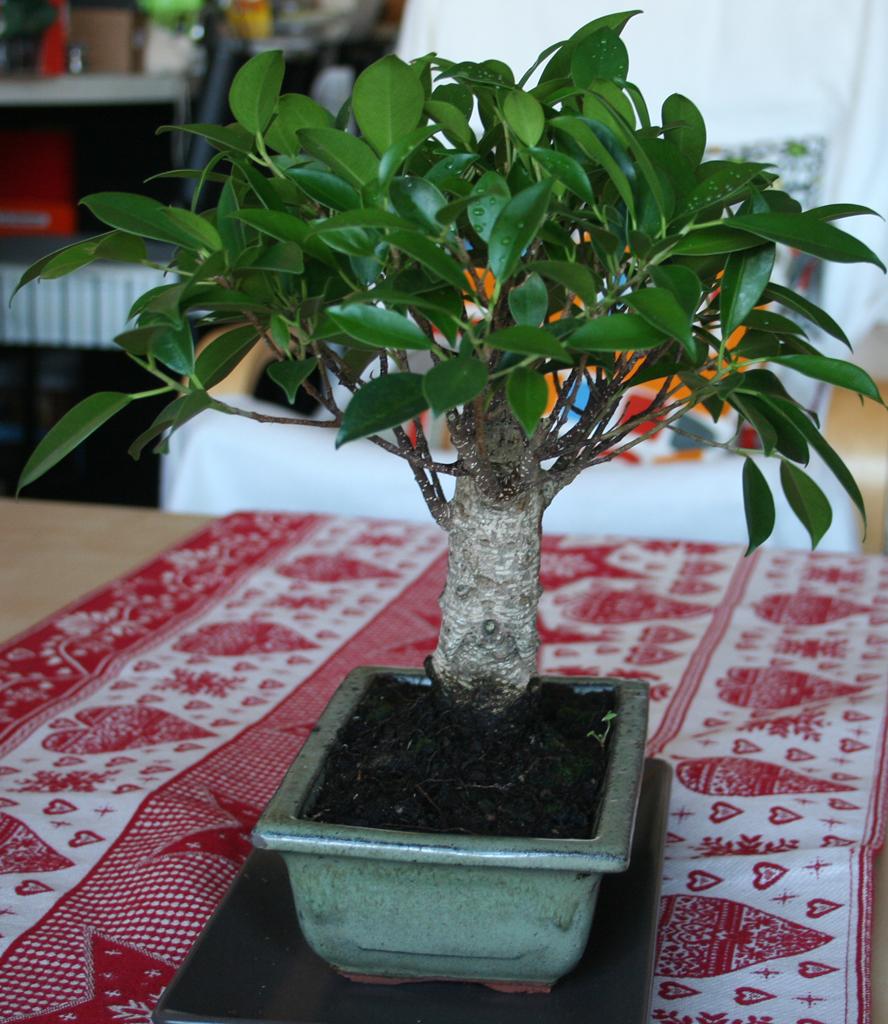 Mi primera vez: Ficus Retusa (muchas preguntas) So1gti