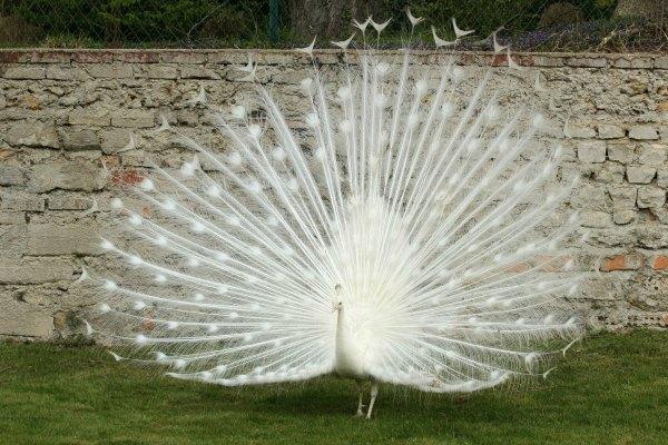 que suis je Martin 1er avril trouvé par Martine Paon-blanc-Paris-white-peacock-jardin-acclimatation-neuilly-bois-de-boulogne-IMG_3640