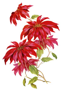 Poinsettia Christmas Flower ~ Free Vintage Image OldDesignShop_PoinsettiaWhittier2-205x300