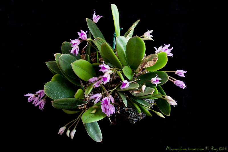 Meiracyllium trinasutum Meiracyllium-trinasutum-2016