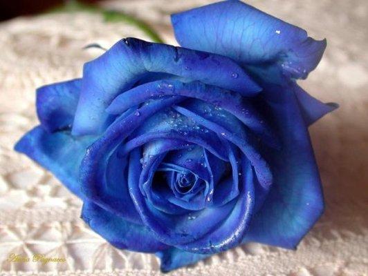 Trendafila - Faqe 2 Rosa-blu