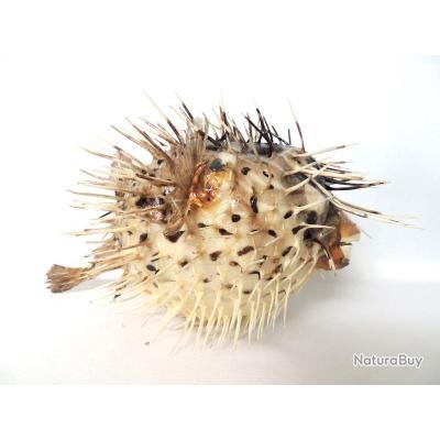 l'image énigme par  blucat (15juillet) trouvée par sylvie __00001_Poisson-Diodon-Piquant-12-16cm-chasse-trophee-taxidermie-coquillage-mer-