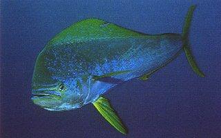 Glosario de Términos de Pesca por Vicente Castrejón Balderas y José Manuel López Pinto Dolphinfish3